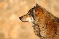 Free Gray Wolf Stock Image - 19646131