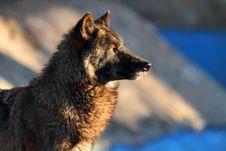 Free Gray Wolf Stock Photos - 19646133