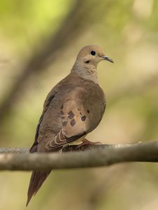 Free Mourning Dove (Zenaida Macroura) Royalty Free Stock Photo - 19646205