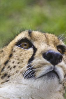 Free Cheetah On Its Back Stock Photos - 19646433