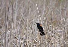 Free Red-winged Blackbird Royalty Free Stock Images - 19646439