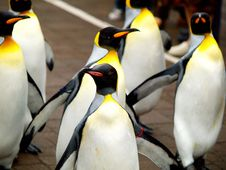 Free King Penguin Royalty Free Stock Photo - 19646705