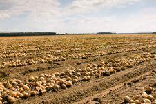 Free Harvest Company (onions) Royalty Free Stock Image - 19649276