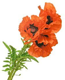 Free Garden Poppies Stock Photo - 19649920
