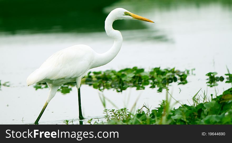 Great egret walking in water of an Asian Sanctuary