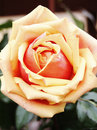 Free Yellow-Red Single Rose Royalty Free Stock Images - 19652629