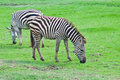 Free Two Zebras On Green Field Stock Photography - 19654952