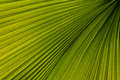 Free Palm Leaf Venation Royalty Free Stock Photos - 19655238
