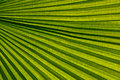 Free Palm Leaf Venation Stock Photography - 19655242