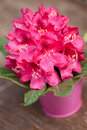 Free Rhododendron Flower Stock Photo - 19655660