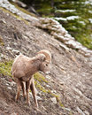 Free Bighorn Sheep Ram Royalty Free Stock Photography - 19657687
