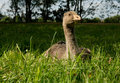 Free Young Goose Stock Images - 19657824