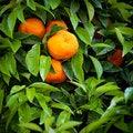 Free Tangerines Royalty Free Stock Photos - 19658238