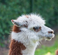 Free Portrait Of Brown And White Llama Royalty Free Stock Image - 19658936