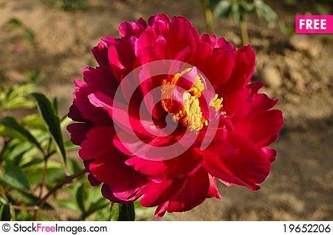 Free Peony Flowers Royalty Free Stock Image - 19652206