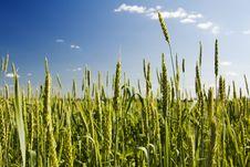 Free Green Ears Of Wheat Stock Image - 19650641