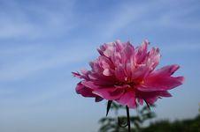 Free Peony Flowers Stock Image - 19652121
