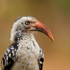 Red Billed Hornbill Royalty Free Stock Image