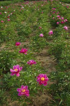 Free Peony Flowers Stock Image - 19652451