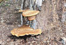 Free Bracket Fungus. Stock Image - 19652601
