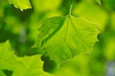 Free Green Leaf Royalty Free Stock Photos - 19653018