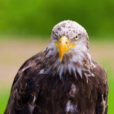 Free Bald Eagle Stock Images - 19653344