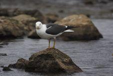 Free Lesser Black-back Gull Stock Photography - 19653622