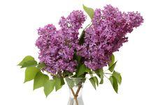 Free Lilac On White Royalty Free Stock Photos - 19653628