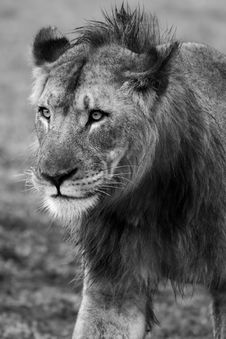 Free Young Male Lion Royalty Free Stock Photo - 19653805