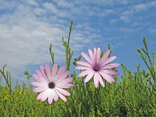 Free Pink Daisies Stock Image - 19654331