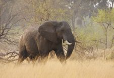 Free Lone Elephant On A Mission Royalty Free Stock Image - 19654396