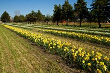 Free Rows Of Daffodills Stock Photography - 19654722