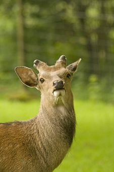 Free Sika Stag, Deer I Will Be Beautiful Royalty Free Stock Photo - 19654805