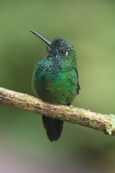 Free Brilliant Green Hummingbird From Costa Rica Stock Image - 19654931