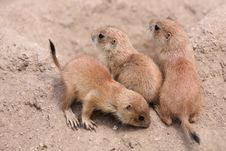 Free Young Prairie Dogs Royalty Free Stock Photos - 19656078