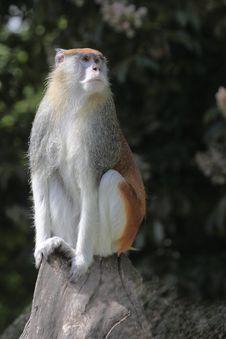 Free Patas Monkey Royalty Free Stock Photography - 19656367