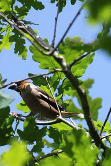 Hawfinch Royalty Free Stock Image