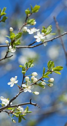 Free Spring Branches Of Cherry Tree Stock Image - 19657021