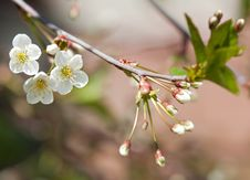 Free Spring Branch Of Cherry Tree Stock Photo - 19657030