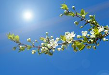 Free Spring Branch Of Cherry Tree Stock Photography - 19657052