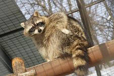 Free Racoon Royalty Free Stock Image - 19657146