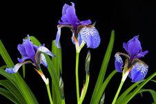 Free Three Iris Blooms Stock Image - 19657561