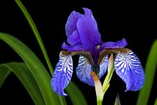 Free Iris Bloom Stock Photo - 19657570