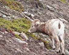 Bighorn Sheep Ram Stock Image