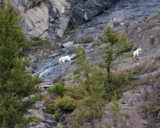 Free Mountain Goats Royalty Free Stock Image - 19657786