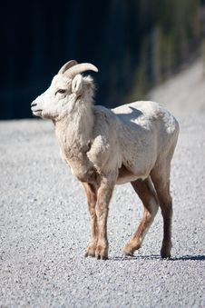 Free Bighorn Sheep Royalty Free Stock Photo - 19657805