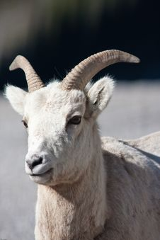 Free Bighorn Sheep Stock Photography - 19657812