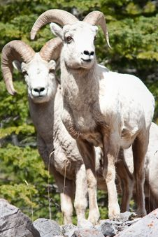 Free Bighorn Sheep Rams Stock Images - 19657834