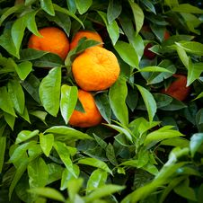 Free Tangerines Royalty Free Stock Photos - 19658238