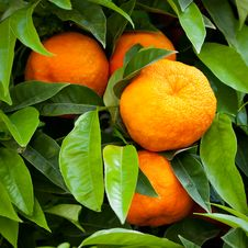 Free Tangerines Royalty Free Stock Photography - 19658247